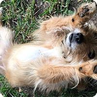 Adopt A Pet :: Barley - San Antonio, TX