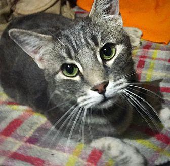 Domestic Shorthair Cat for adoption in Ridgecrest, California - Zane