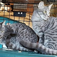 Adopt A Pet :: Ariselly & Gwinny (bonded pair, shy) - OAKVILLE, WA
