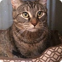 Adopt A Pet :: Tiger Lily (in CT) - Manchester, CT
