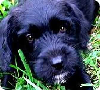 """Labradoodle Puppy for adoption in Wakefield, Rhode Island - CLEO( TINY """"LABRADOODLE"""" PUPPY"""
