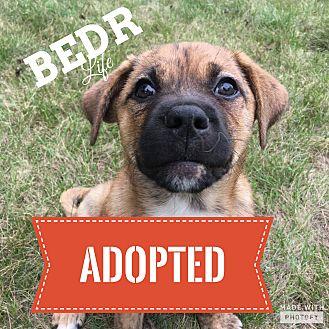 Pit Bull Terrier/Bulldog Mix Puppy for adoption in Regina, Saskatchewan - Pegasus