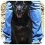 Photo 1 - Bull Terrier/Shar Pei Mix Puppy for adoption in Gilbert, Arizona - Mooshi