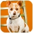 Photo 2 - Corgi/Chihuahua Mix Dog for adoption in Portland, Oregon - Poncho