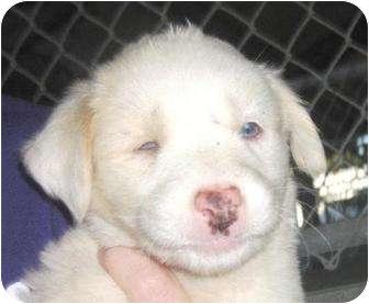 Mastiff Mix Puppy for adoption in Preston, Connecticut - Jess