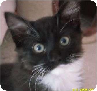 Domestic Mediumhair Kitten for adoption in lake elsinore, California - Johnny