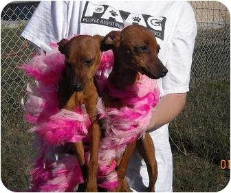 Miniature Pinscher Mix Puppy for adoption in Corpus Christi, Texas - Virgie & Virginia