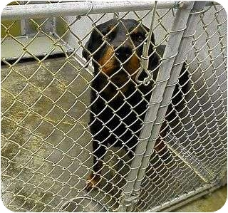 Rottweiler Mix Dog for adoption in Frederick, Pennsylvania - Justice