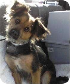 Sheltie, Shetland Sheepdog/Spaniel (Unknown Type) Mix Dog for adoption in Tustin, California - Chloe
