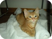 Domestic Shorthair Kitten for adoption in Tampa, Florida - Bonnie