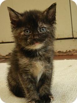 American Shorthair Kitten for adoption in Des Moines, Iowa - Kittens