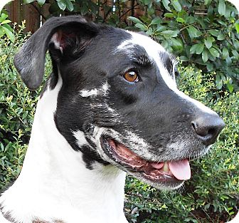 Great Dane Mix Dog for adoption in Kingwood, Texas - Moose