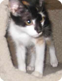 Calico Kitten for adoption in Dallas, Texas - Fancy
