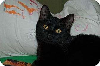 Domestic Shorthair Cat for adoption in Fort Wayne, Indiana - Parker