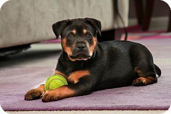 Rottweiler Mix Puppy for adoption in Alpharetta, Georgia - Magoo
