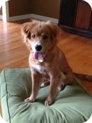 Golden Retriever Mix Dog for adoption in Windam, New Hampshire - Sarah