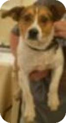 Beagle/Jack Russell Terrier Mix Dog for adoption in Media, Pennsylvania - Jangles