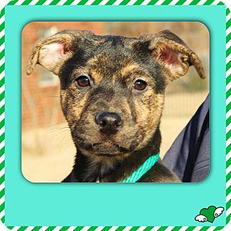 German Shepherd Dog/Boxer Mix Puppy for adoption in CHICAGO, Illinois - CINDI