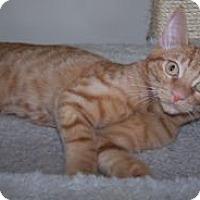 Adopt A Pet :: K-Peanut3-Redman - Colorado Springs, CO
