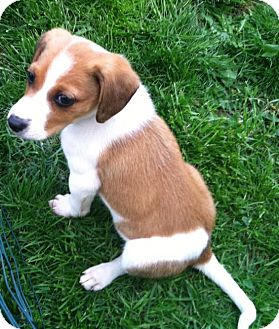 Beagle/Spaniel (Unknown Type) Mix Puppy for adoption in North Olmsted, Ohio - Rugby