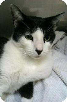 Domestic Shorthair Cat for adoption in Miami, Florida - Connan