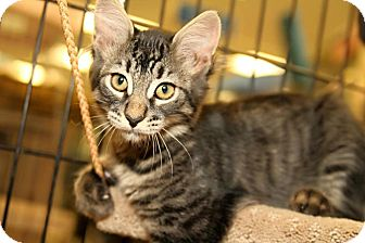 Domestic Shorthair Kitten for adoption in Yorba Linda, California - Quil