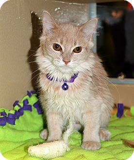 Domestic Mediumhair Cat for adoption in Plano, Texas - SASSAFRAS - PLAY PRINCESS!!
