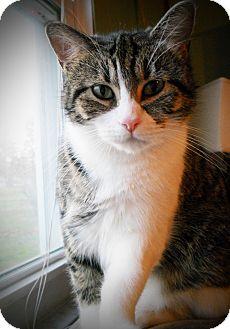 Domestic Shorthair Cat for adoption in Cincinnati, Ohio - Taylor
