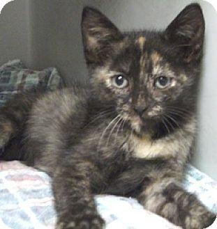 Domestic Shorthair Cat for adoption in Keokuk, Iowa - Nicole