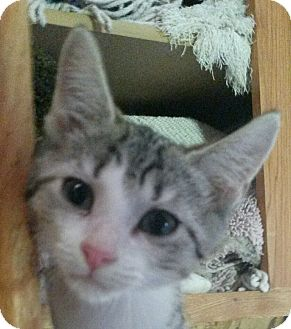 Domestic Shorthair Kitten for adoption in Colfax, Iowa - Madison
