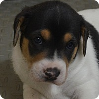 Adopt A Pet :: Shelby - Burleson, TX