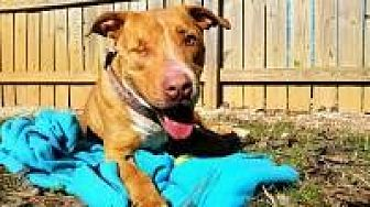 Staffordshire Bull Terrier Dog for adoption in Memphis, Tennessee - Jeddy
