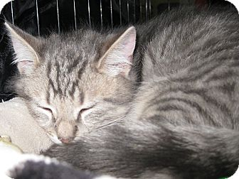 Domestic Shorthair Kitten for adoption in Randolph, New Jersey - Henry & Harry-adopt together
