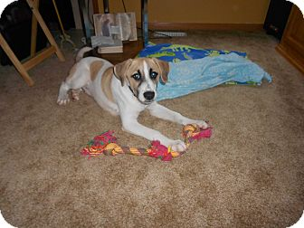 Beagle/Hound (Unknown Type) Mix Puppy for adoption in Plainfield, Illinois - Casey