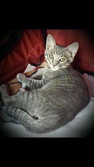Domestic Shorthair Kitten for adoption in Royal Palm Beach, Florida - Preston