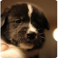 Adopt A Pet :: Cinna - Fredericksburg, VA