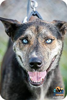 Husky Mix Dog for adoption in Evansville, Indiana - Hunter