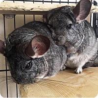 Adopt A Pet :: Chi & Zen - Granby, CT