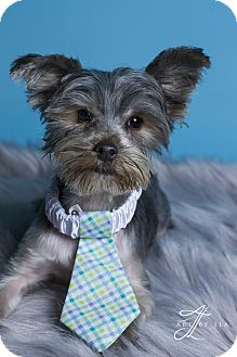 Yorkie, Yorkshire Terrier/Schnauzer (Miniature) Mix Puppy for adoption in Baton Rouge, Louisiana - Sawyer