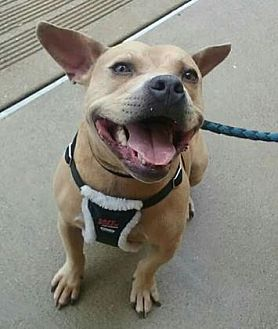 Pit Bull Terrier Mix Dog for adoption in Anderson, Indiana - Wyatt