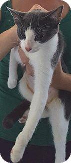 Domestic Shorthair Cat for adoption in Fishkill, New York - Pythia/Rocky
