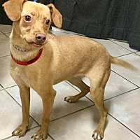 Adopt A Pet :: Pinta - Phoenix, AZ