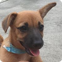 Adopt A Pet :: Stella - Royal Palm Beach, FL