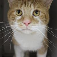 Domestic Shorthair/Domestic Shorthair Mix Cat for adoption in Wilkes Barre, Pennsylvania - Red