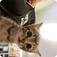 Domestic Mediumhair Kitten for adoption in Fort Walton Beach, Florida - CAMBRIA
