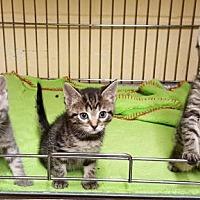 Adopt A Pet :: Kittens Available Soon! - Perth Amboy, NJ