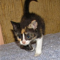 Adopt A Pet :: Cadbury (baby girl) - Harrisburg, PA