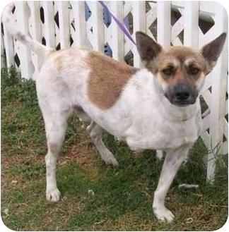 Australian Cattle Dog Mix Dog for adoption in Ft. Pierce, Florida - Tripod