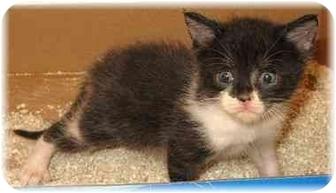 Domestic Shorthair Kitten for adoption in Naples, Florida - Mackenzie