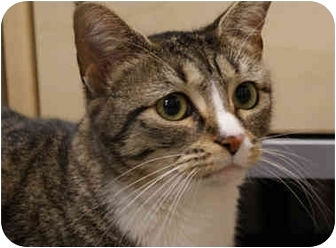 Domestic Shorthair Cat for adoption in Houston, Texas - Mimzy